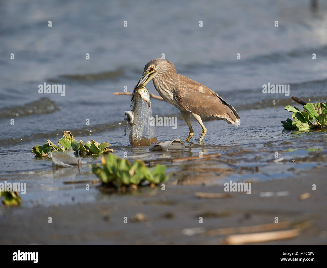 Immature Black-crowned Night Heron (Nycticorax nycticorax) attempts to swallow a plastic bag containing discarded fish - Stock Image