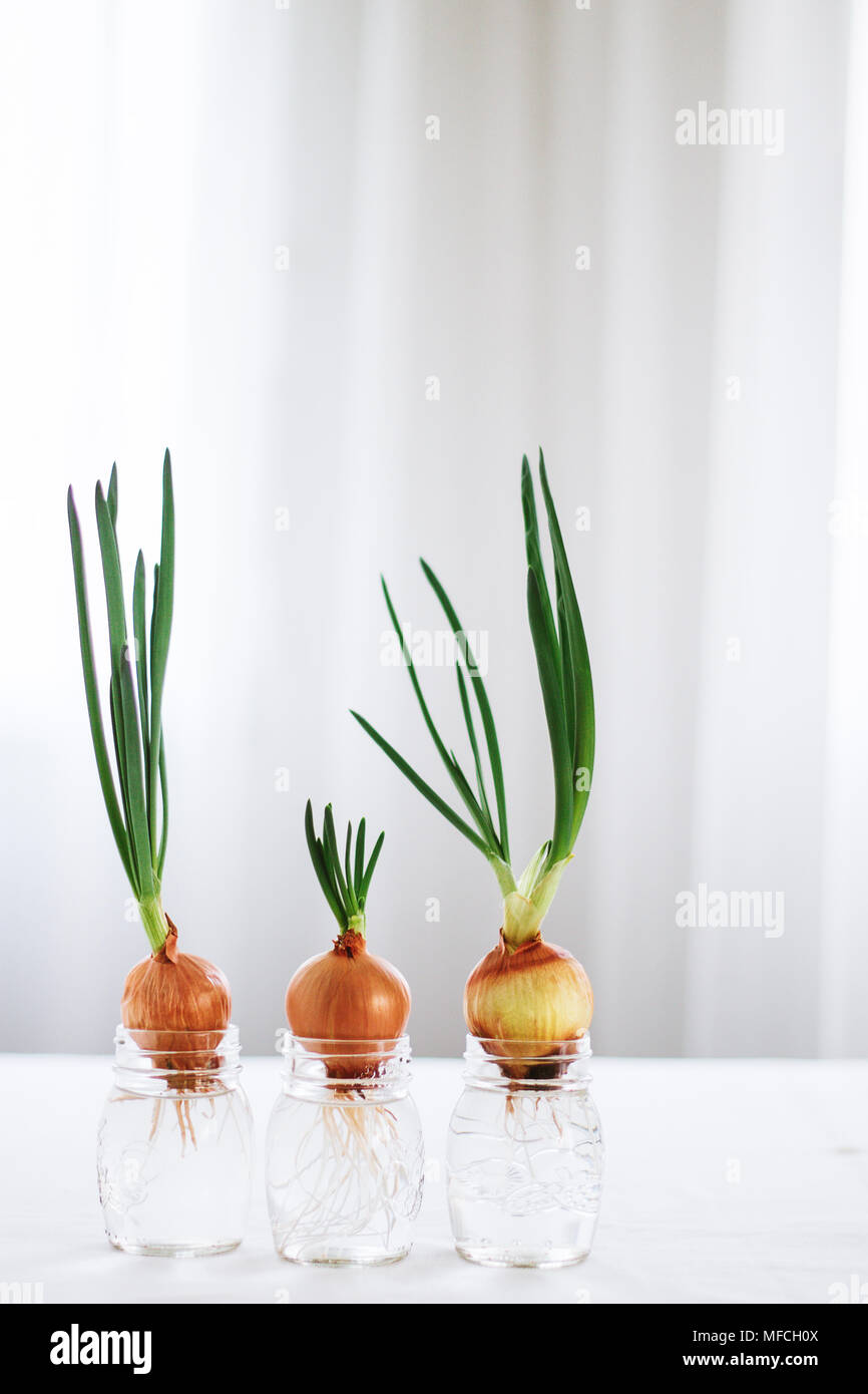 Spring Onions Growing In Glass Jars With Water Small Garden
