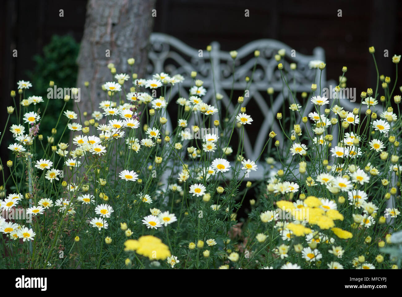 Herbaceous Border containing daisies and sedum - Stock Image