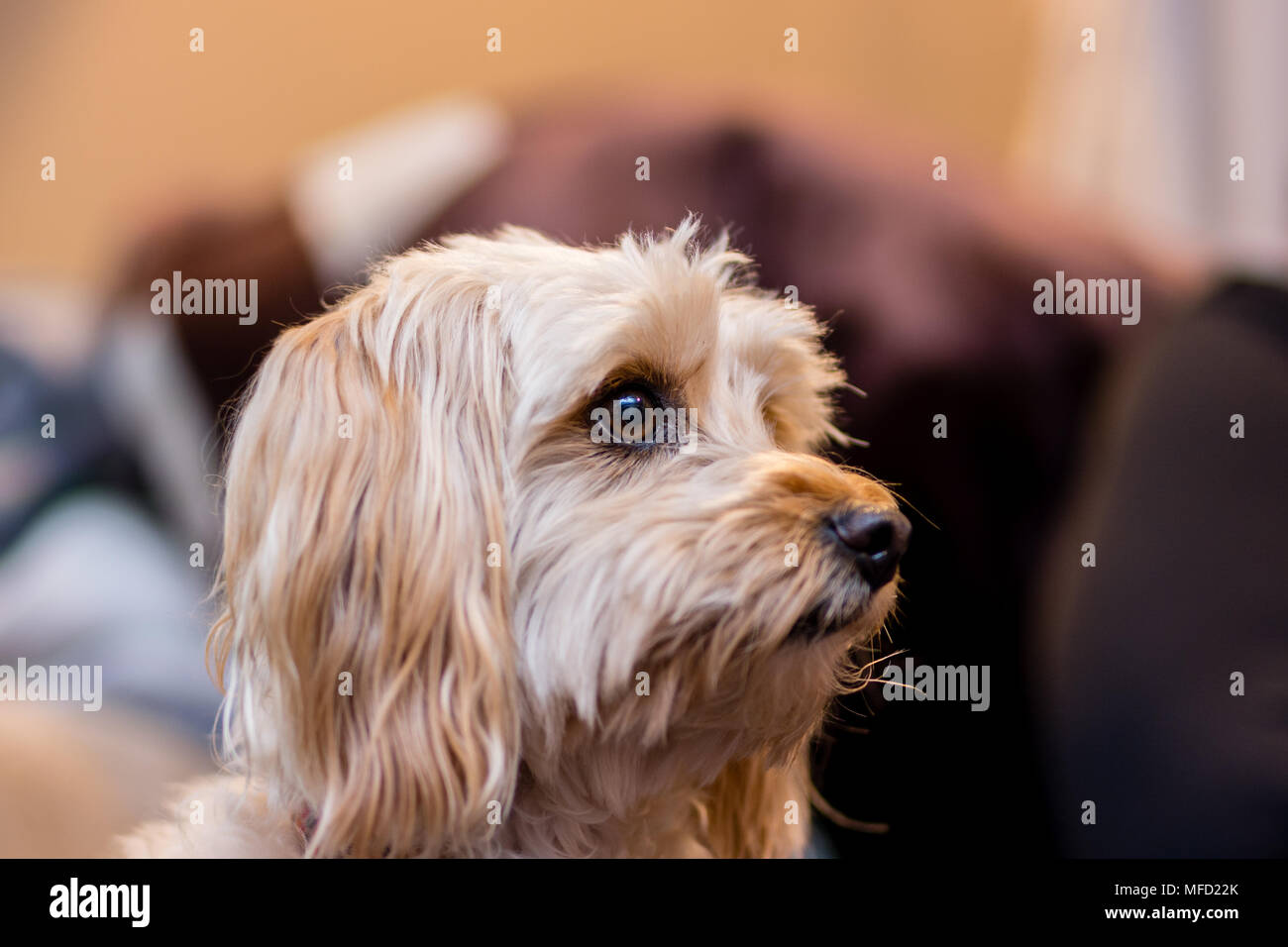 Female Maltipoo dog poses for a picture - Stock Image