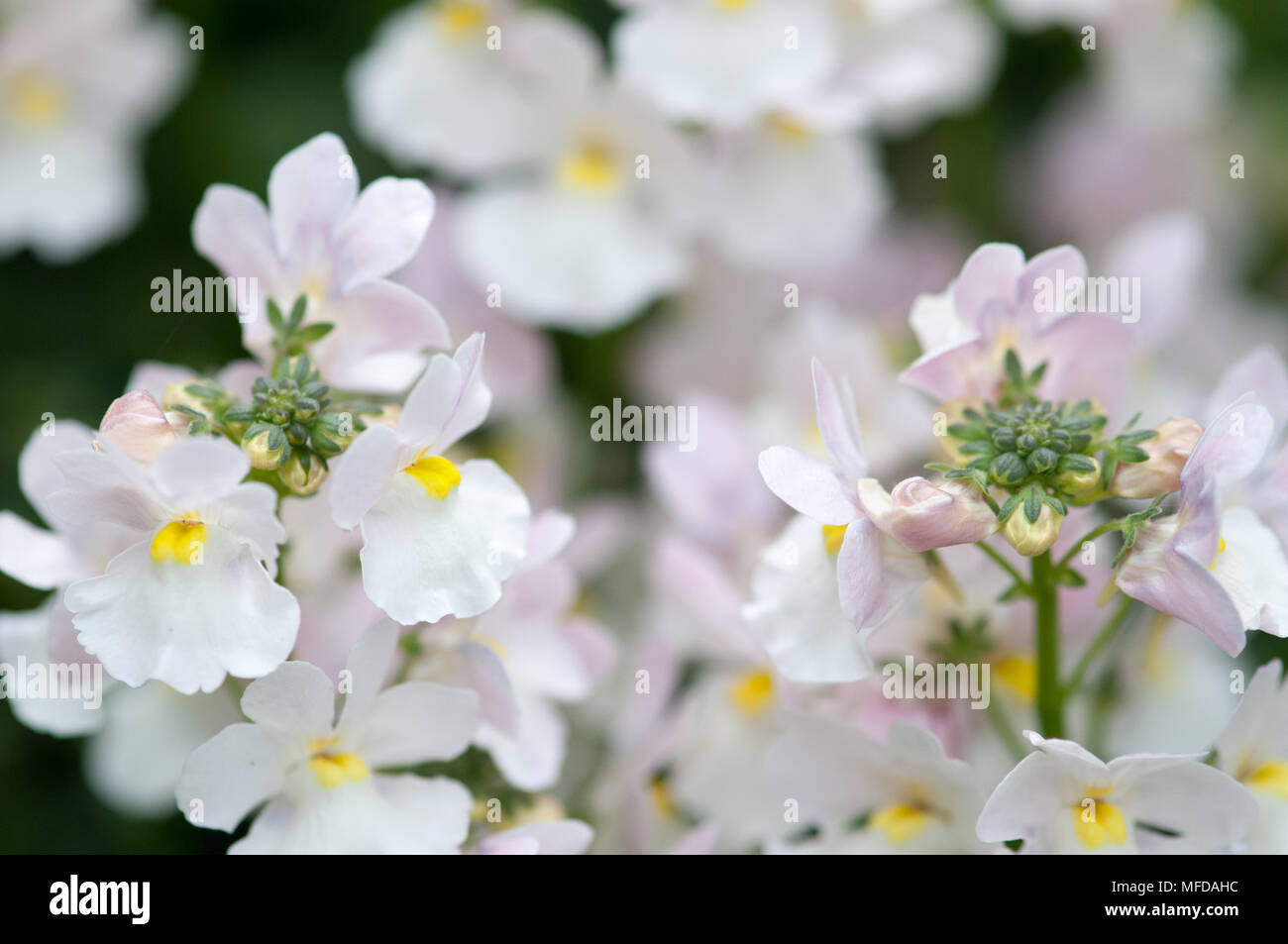 Delicate pink flowers summer flowering perennial garden herbaceous close up shot of pretty white and pink herbaceous perennial stock image mightylinksfo