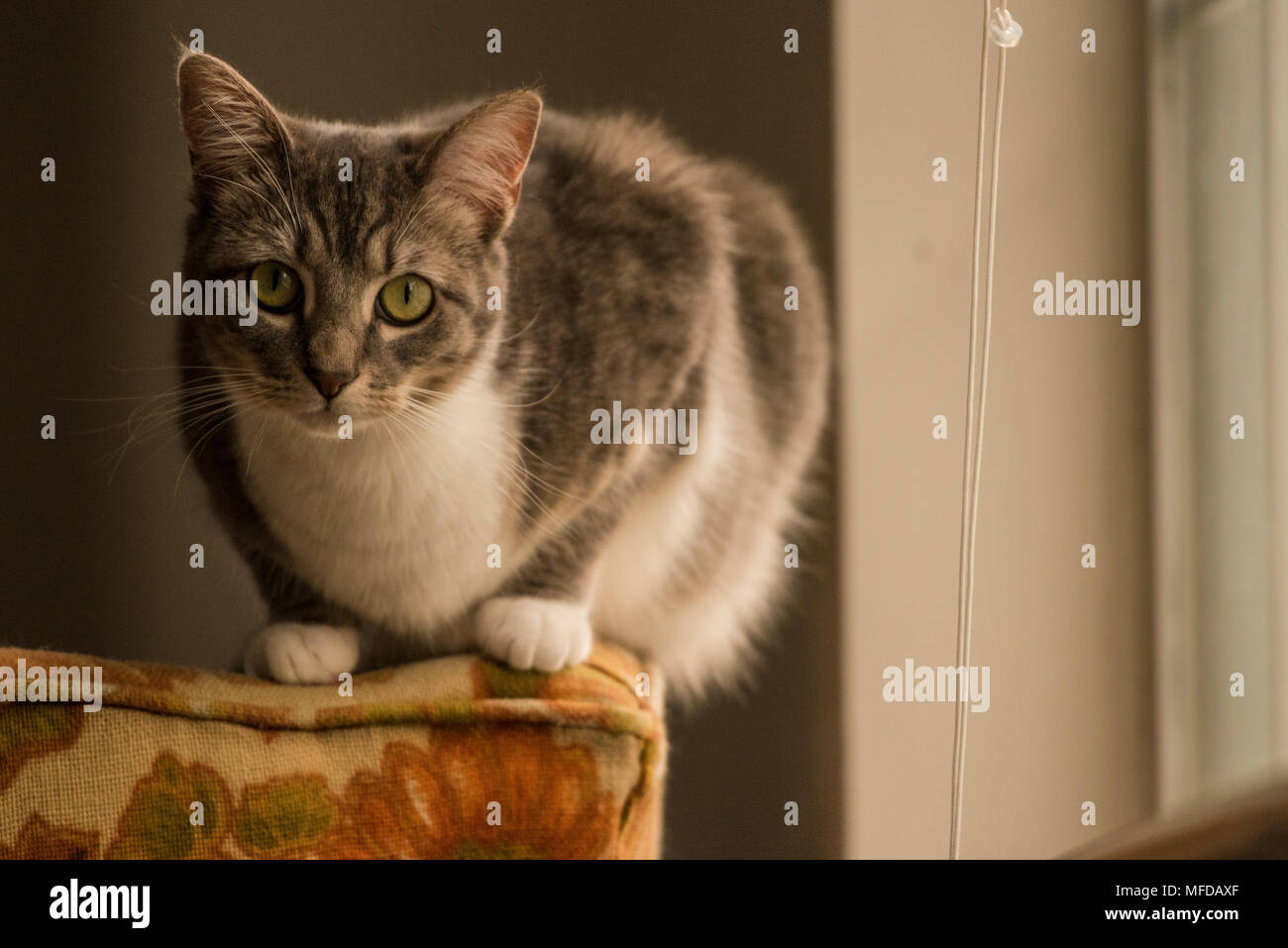 A domestic tabby cat, a spoiled indoor cat that lounges and reclines all around the house. - Stock Image