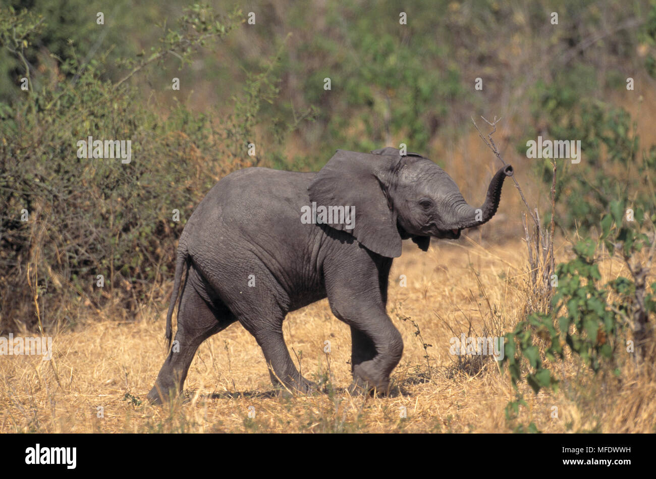 AFRICAN ELEPHANT young Loxodonta africana testing air for