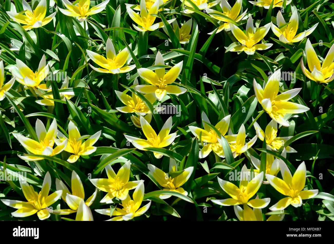 Tulipa Tarda Or Late Tulip Yellow And White Star Shaped Flowers