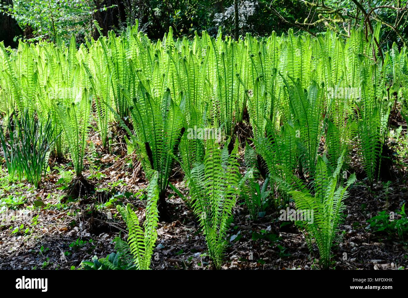 ostrich fern Matteuccia struthiopteris  ostrich feather fern in woodland floor Stock Photo