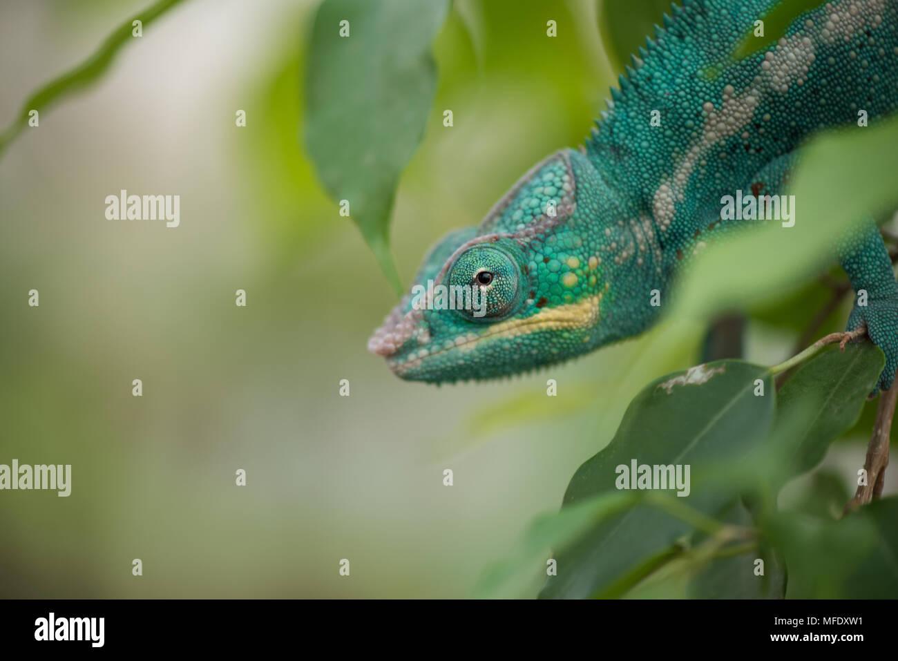 Panther chameleon with bright colors / furcifer pardalis / Madagascar wildlife / Nosy be / chameleon in leaves / blue chameleon - Stock Image