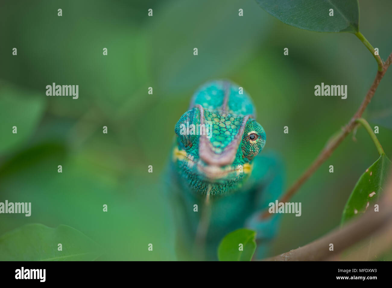 Panther chameleon with bright colors / Nosy be / Madagascar wildlife / Furcifer pardalis / Blue chameleon - Stock Image