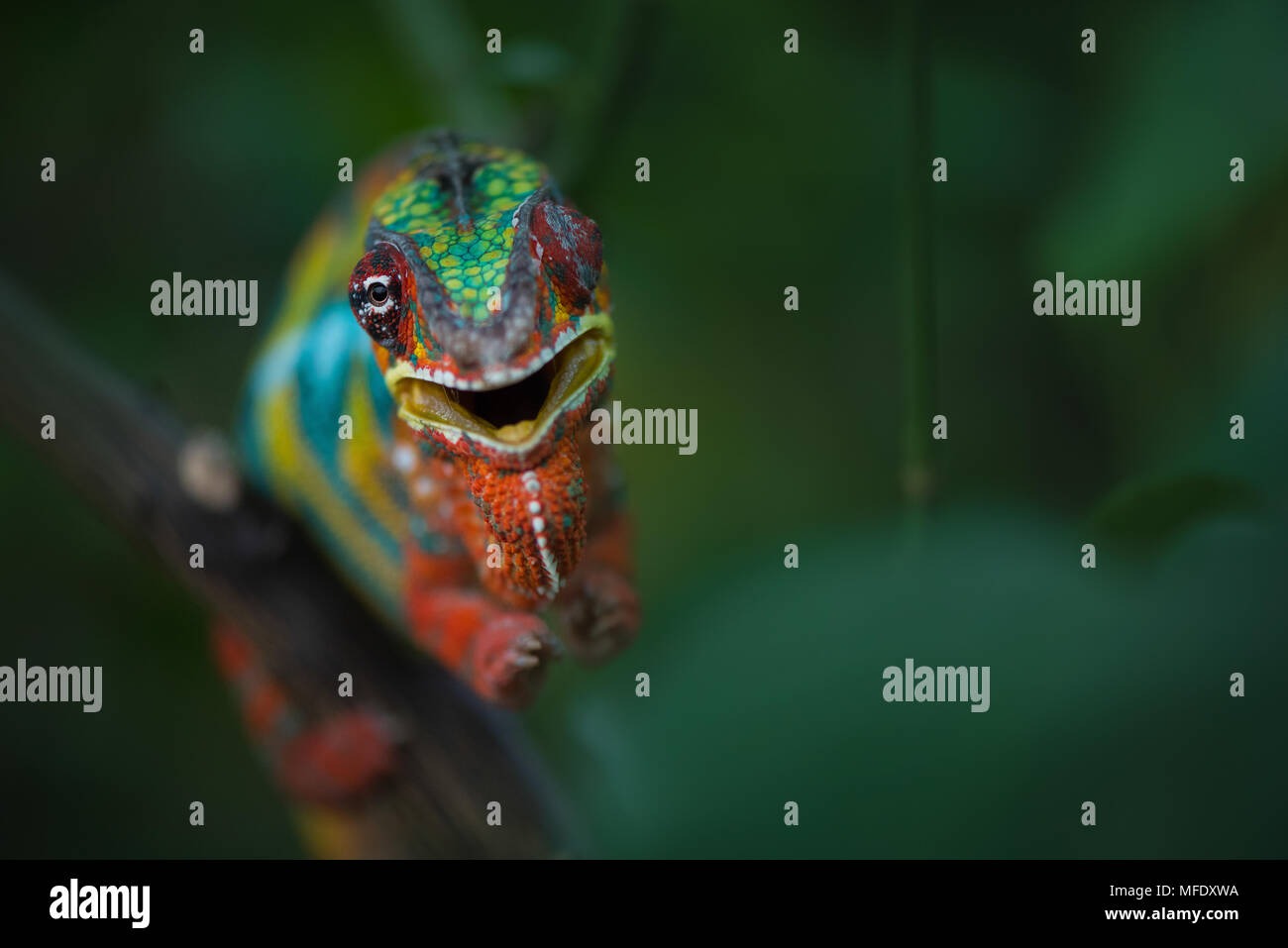 Panther chameleon with bright colors / Furcifer pardalis / angry chameleon / hissing chameleon / Madagascar wildlife - Stock Image