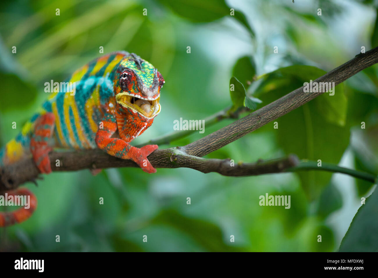 Panther chameleon with bright colors on a branch / colorful chameleon / Furcifer pardalis / Chameleon open mounth  / Madagascar wildlife - Stock Image