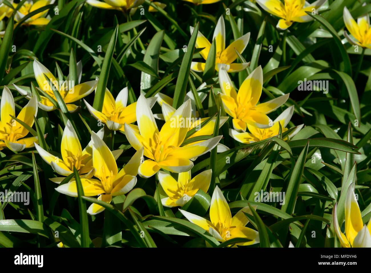 White star shaped flowers stock photos white star shaped flowers tulipa tarda or late tulip yellow and white star shaped flowers stock image mightylinksfo