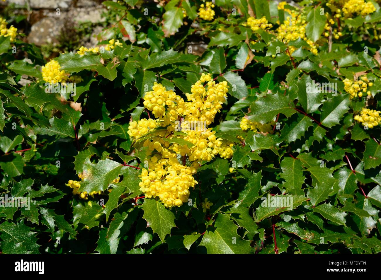 Mahonia Golden Abundance Or Barberries Two Season Plant With Yellow