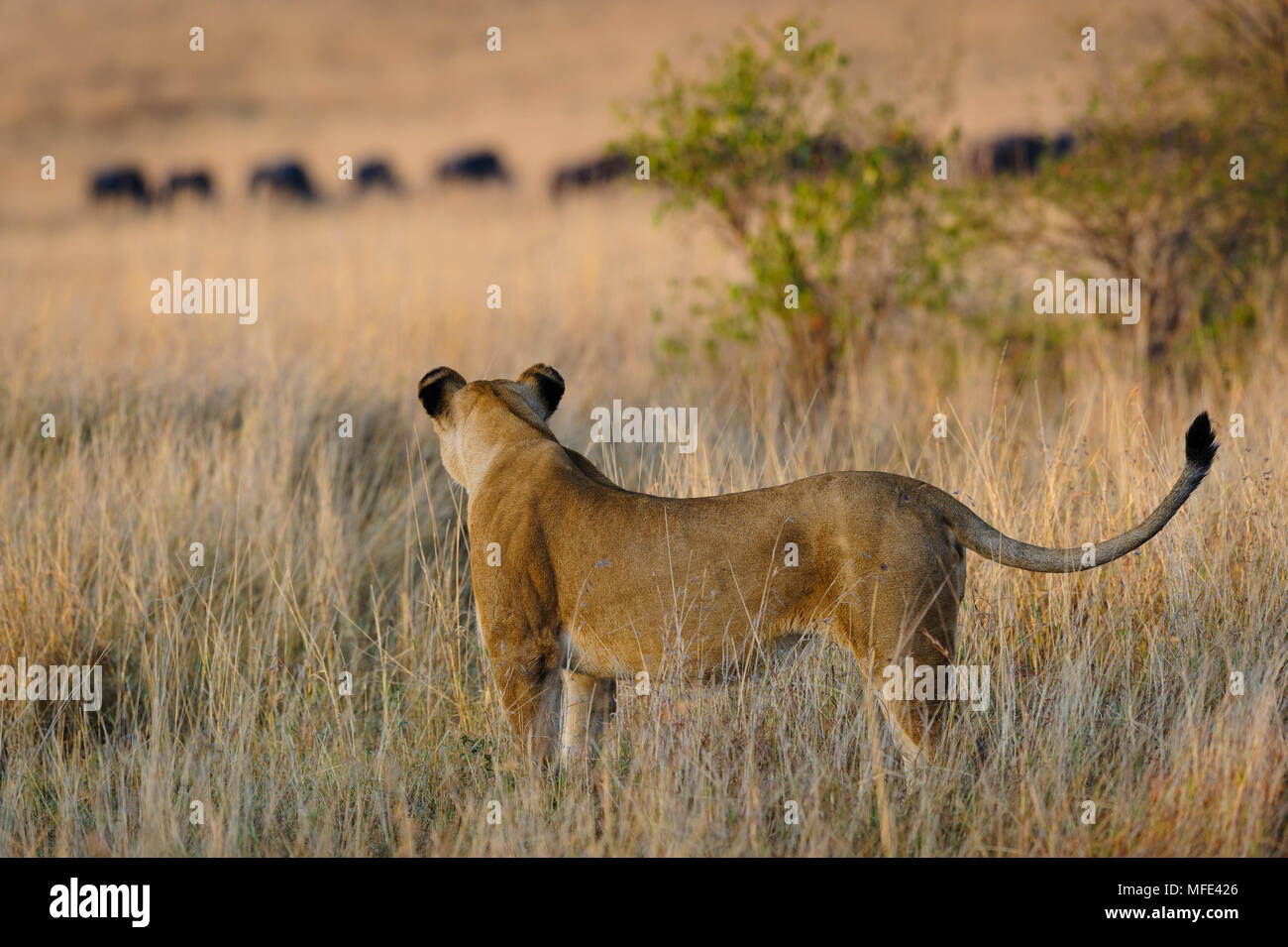 African African lioness hunting, with wildebeests in background, Panthera leo; Masai Mara, Kenya. - Stock Image