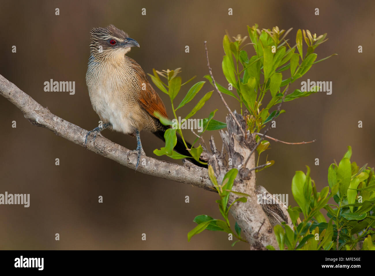 White-browed coucal in Kenya's Masai Mara; Centropus superciliosus. - Stock Image