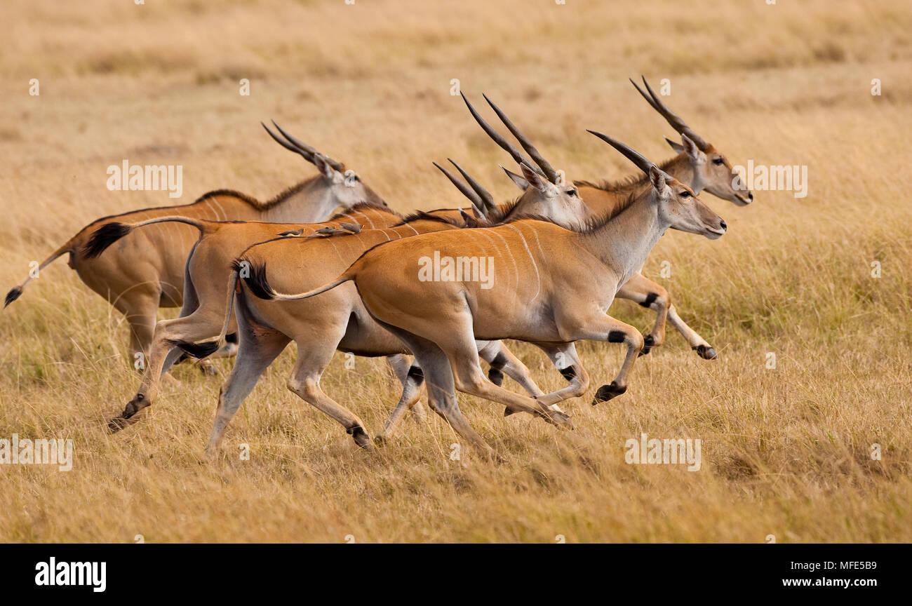 Eland, Taurotragus oryx; Masai Mara, Kenya. - Stock Image