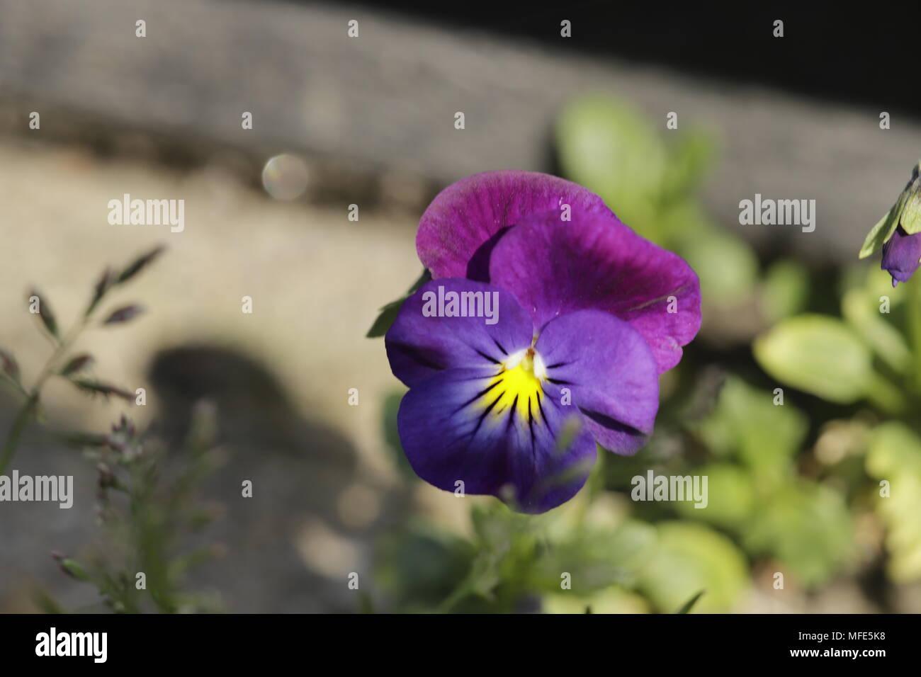 Viola tricolor little violet flowers - Stock Image
