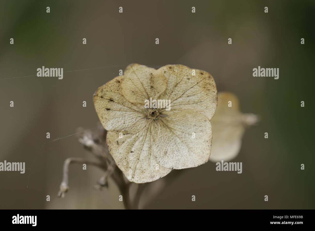 A dried flower of a Hydrangea - Stock Image