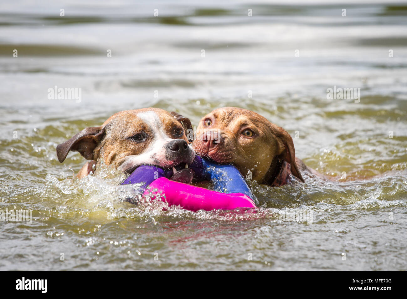 Two young dogs swimming and fetching a toy (American Pit Bull Terrier & Working Pit Bulldog) - Stock Image