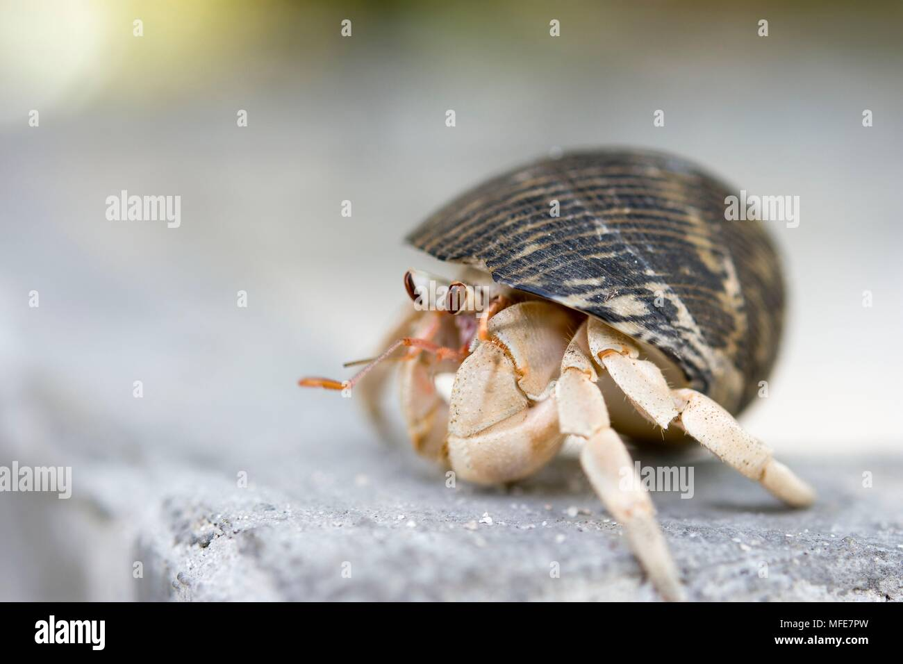 Hermit Crab in the Maldives. - Stock Image