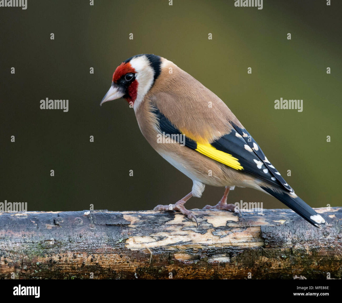 Goldfinch at Stithians Reservoir, Southern Cut-Off  in Cornwall UK - Stock Image