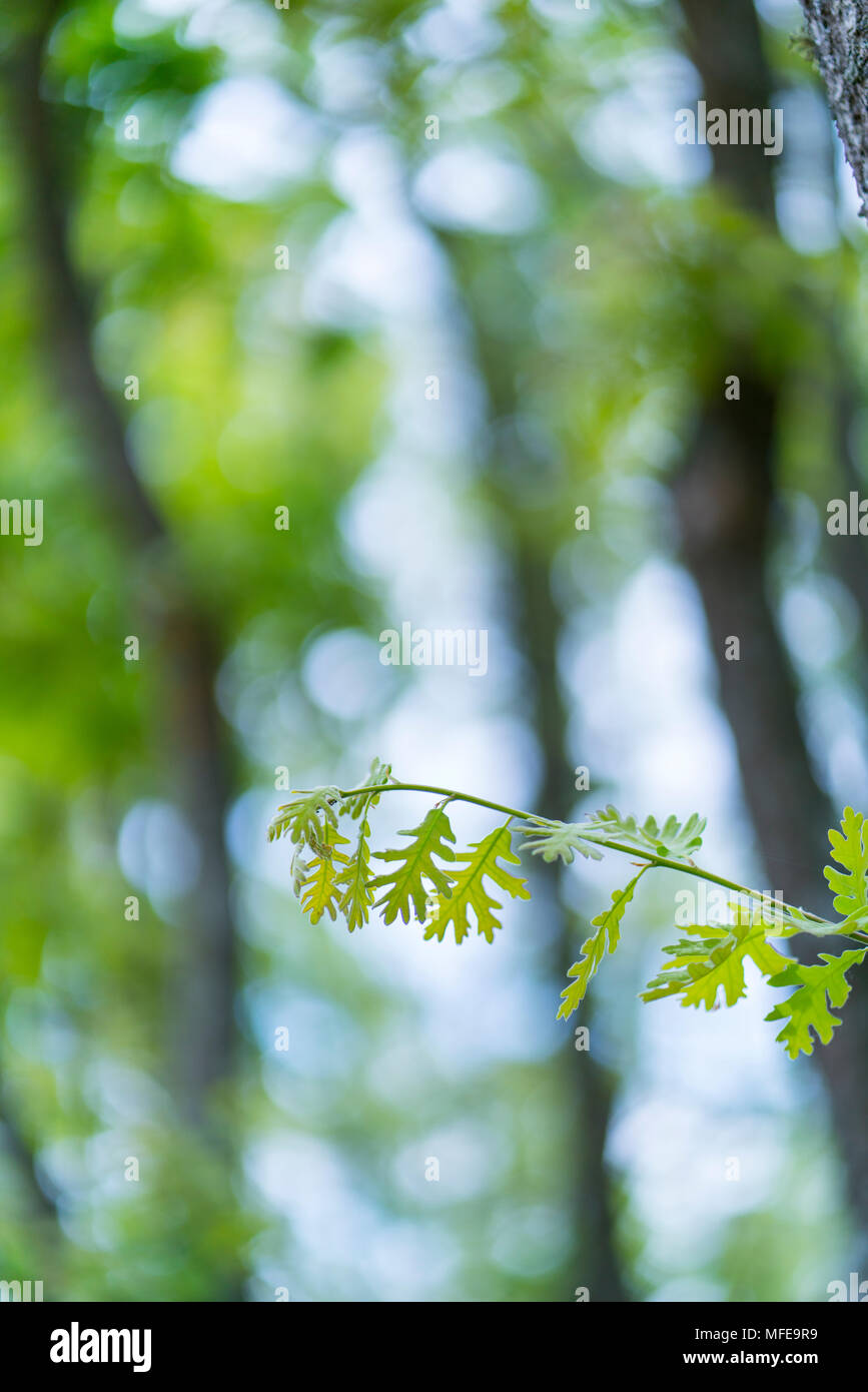 Pyrenean Oak forest, Sierra de Guadarrama, Madrid, Spain, Europe Stock Photo