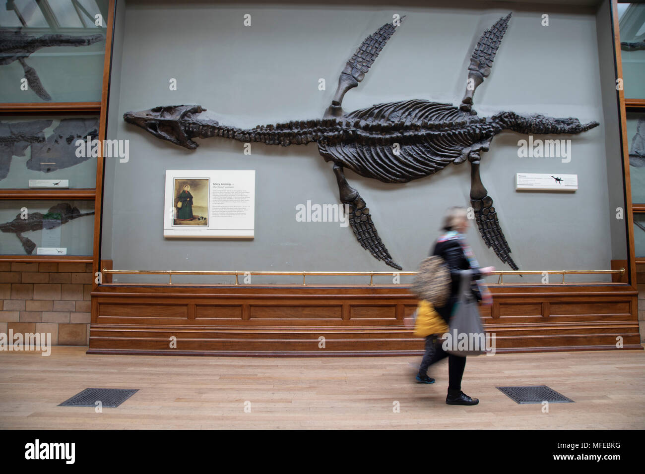 Pliosaur fossil at the Natural History Museum in London, England, United Kingdom. Pliosaurus, meaning more lizard is an extinct genus of thalassophonean pliosaurid. The museum exhibits a vast range of specimens from various segments of natural history. The museum is home to life and earth science specimens comprising some 80 million items within five main collections: botany, entomology, mineralogy, paleontology and zoology. The museum is a centre of research specialising in taxonomy, identification and conservation. - Stock Image