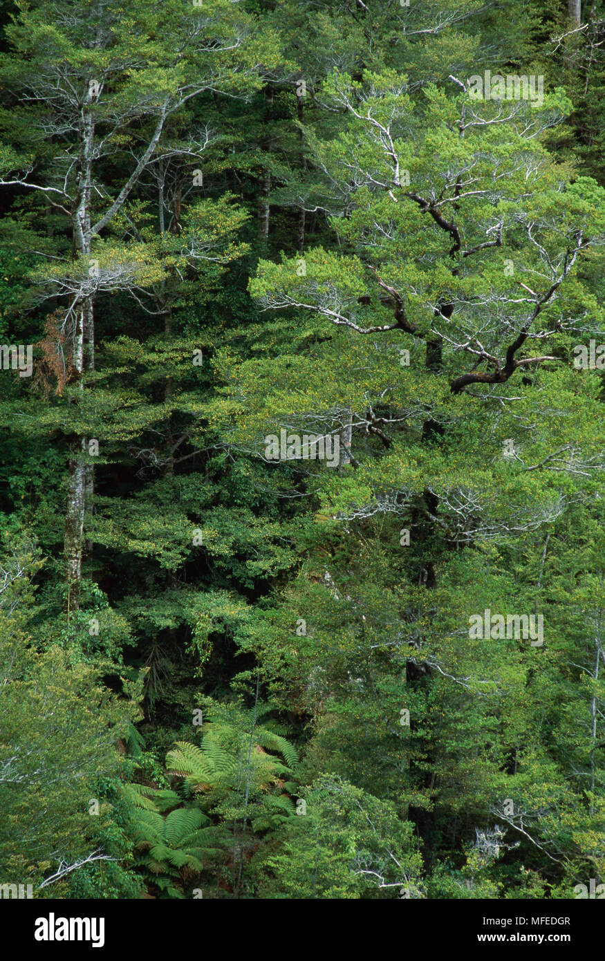 SILVER BEECH TREES Nothofagus menziesii New Zealand Stock Photo ...