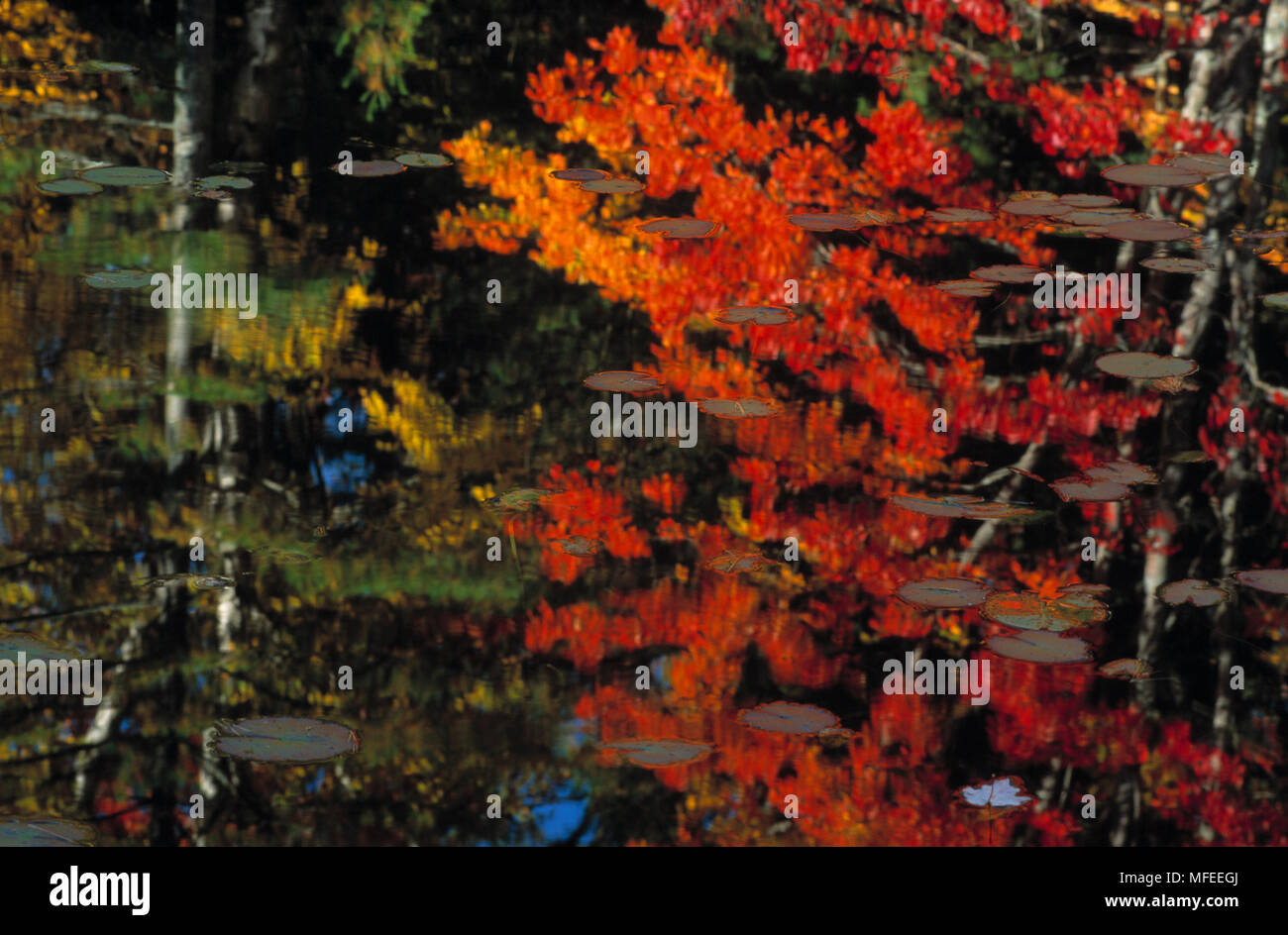 FOREST IN AUTUMN Deciduous forest in autumn colours, reflected in water with waterlilies, Michigan, USA - Stock Image