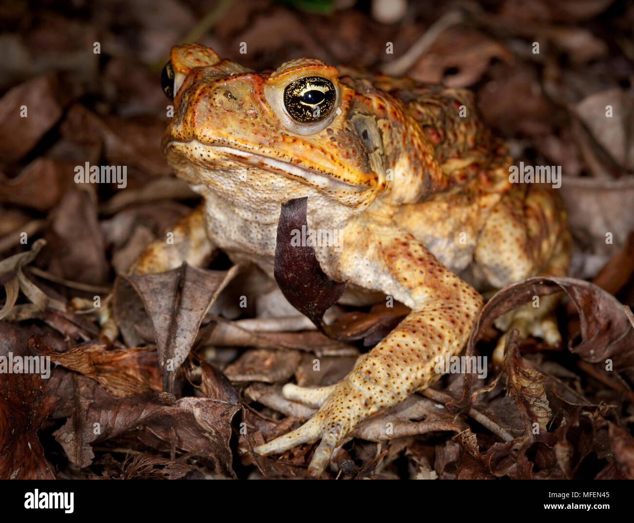 Cane Toad (Rhinella marina), Fam. Bufonidae, Introduced pest species (to control cane beetles - unsuccessfully) and highly toxic to most predators suc Stock Photo