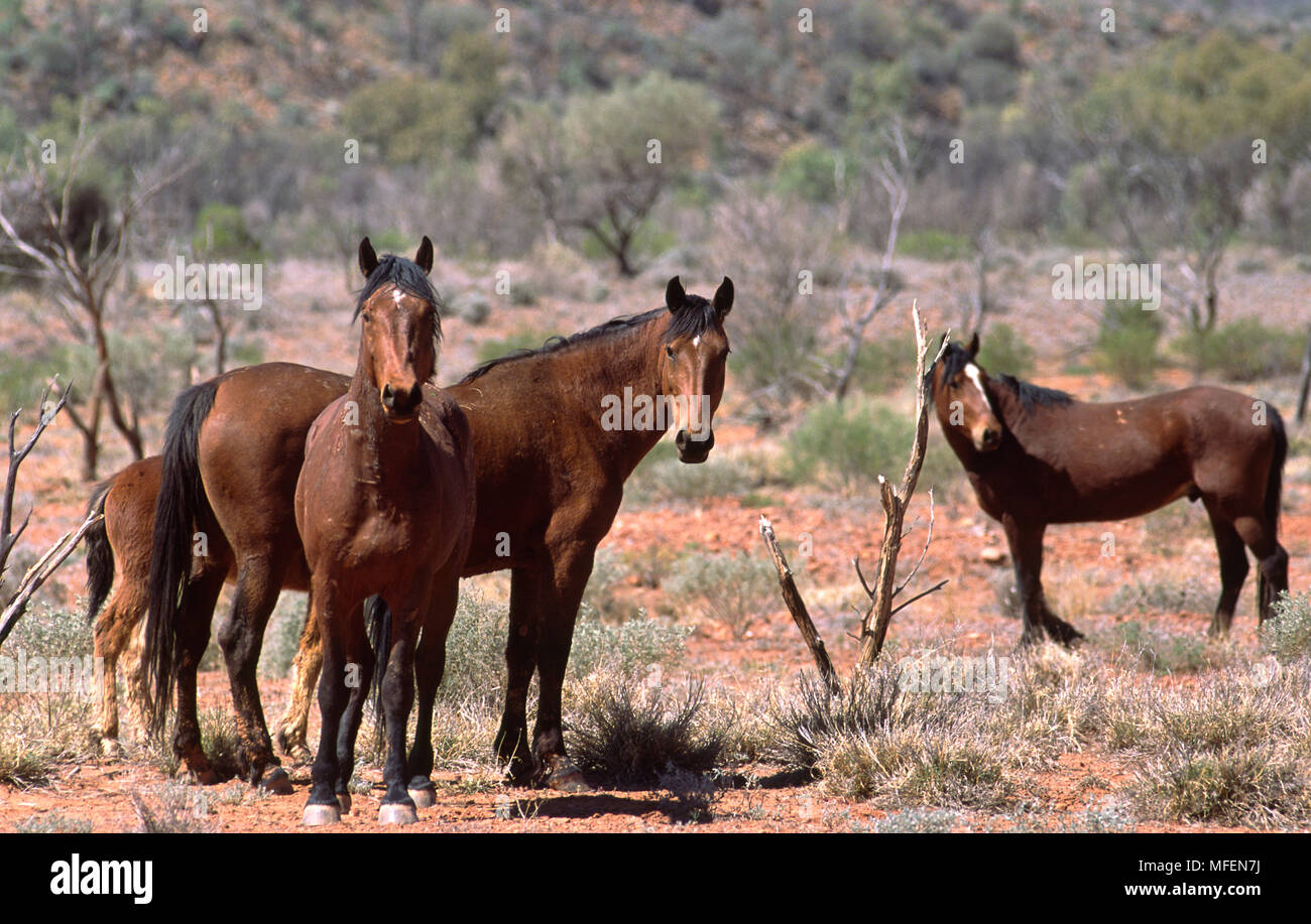 Brumbies, Feral Horses (Equus caballus), Ormiston Gorge, West MacDonnell National Park, Northern Territory, Australia - Stock Image