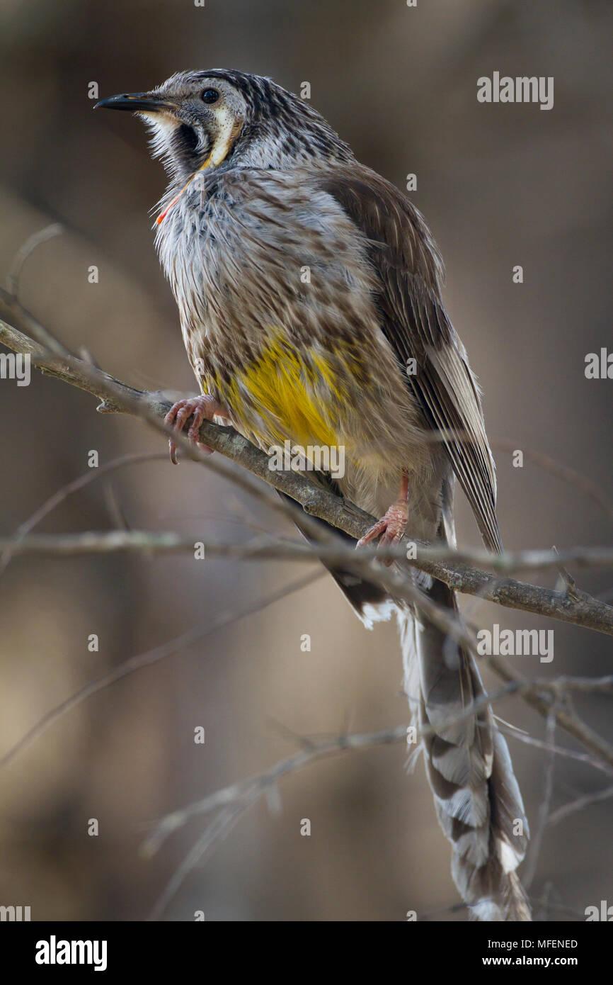 Yellow Wattlebird (Anthochaera paradoxa), Fam. Meliphagidae, Freycinet National Park, Tasmania, Australia - Stock Image