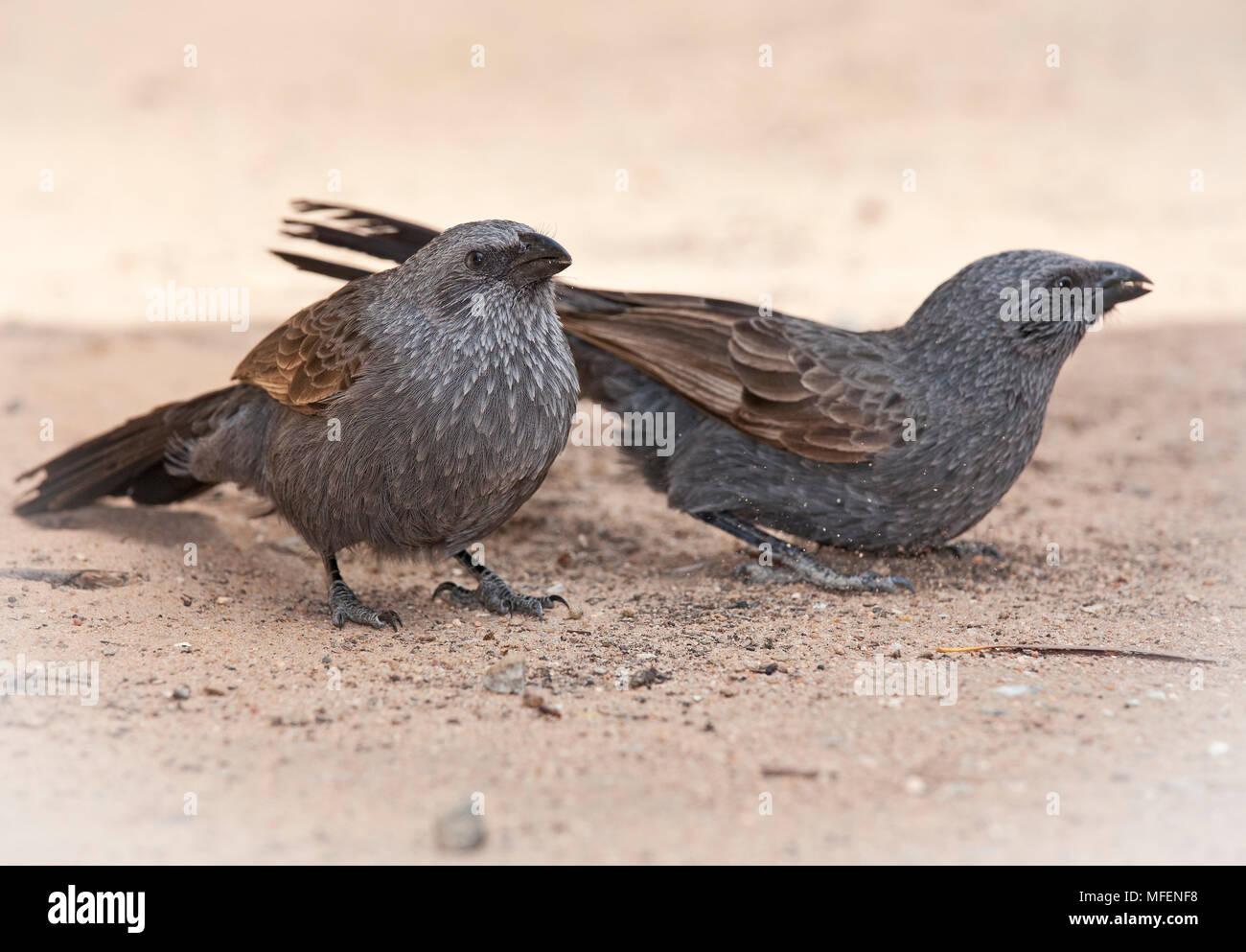 Apostlebird (Struthidea cinerea), Fam. Corcoracidae, Highly social birds, Kinchega National Park, New South Wales, Australia - Stock Image