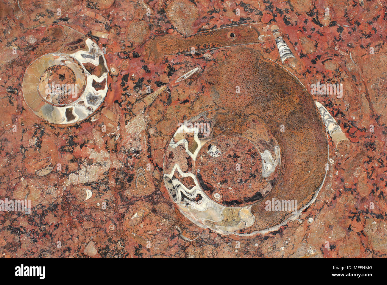 Ammonite (Goniatite) Fossils, Morocco - Stock Image