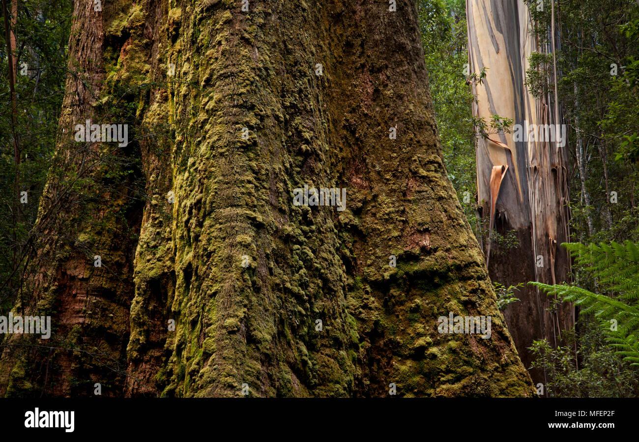 Mountain Ash (Eucalyptus regnans), Fam. Myrtaceae, The world's tallest flowering tree species, Mt Field National Park, Tasmania, Australia, tallest fl - Stock Image
