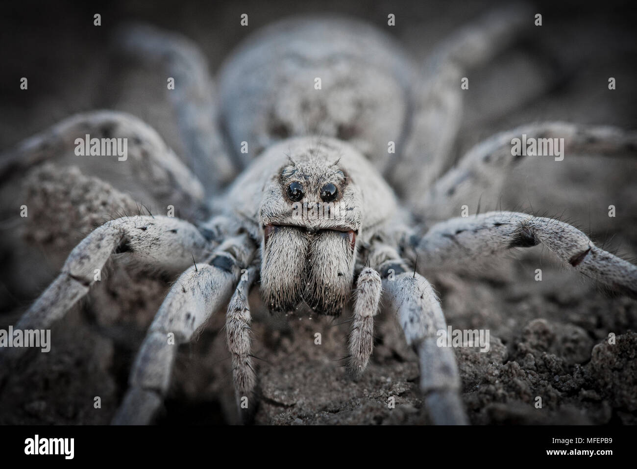 Desert Wolfspider (Lycosa spp.), Fam. Lycosidae, These large spiders are active during the night, Kinchega National Park, New South Wales, Australia - Stock Image