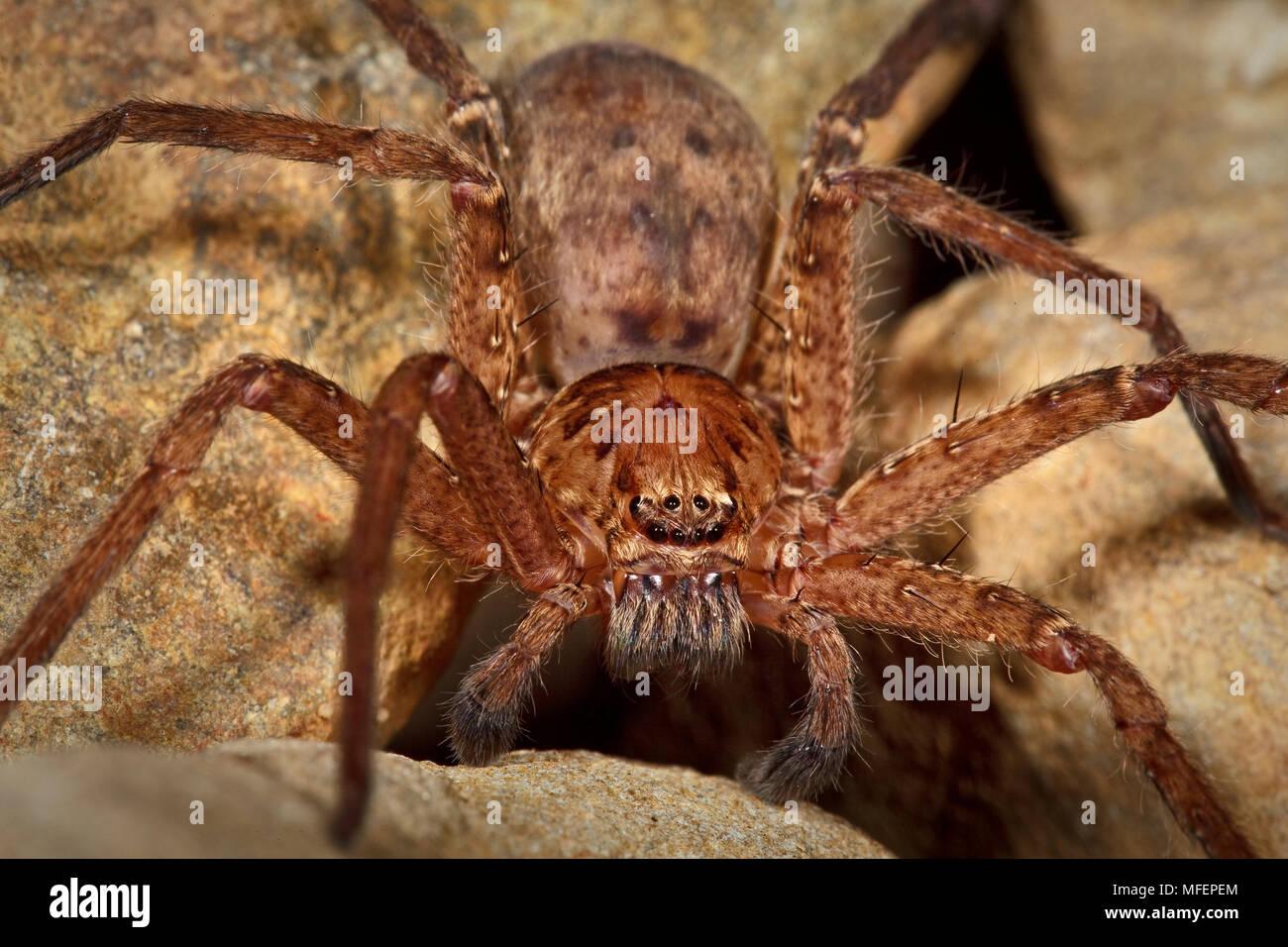 Brown Huntsman Spider (Heteropoda cervina), Fam  Sparassidae