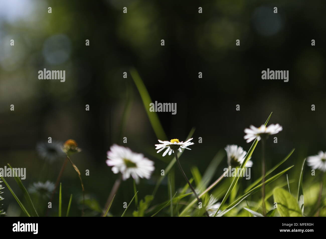 daisies in forest Stock Photo