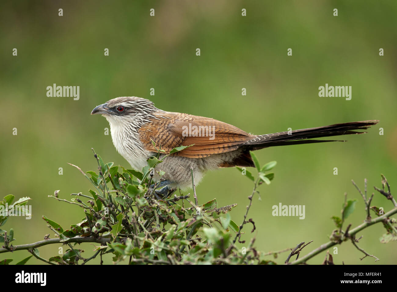 White-browed coucal, Centropus superciliosus; Masai Mara, Keya. - Stock Image