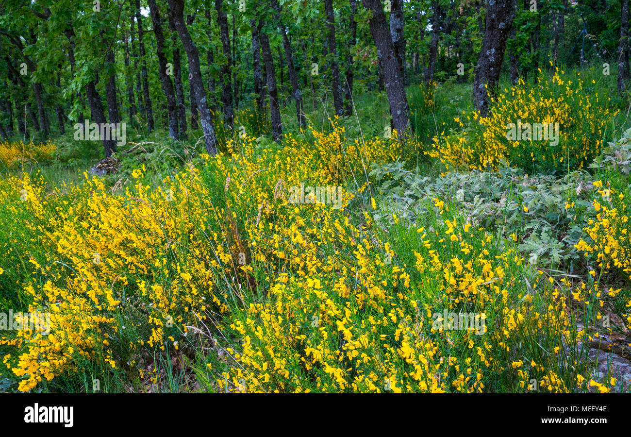 Pyrenean Oak forest and Common Broom, Sierra de Guadarrama, Madrid, Spain, Europe Stock Photo