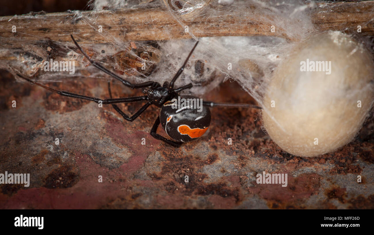 Red-back Spider (Latrodectus hasselti), Fam. Theridiidae, Female with egg sack, Highly venomous spider, Mulyangarie Station, South Australia, Australi - Stock Image