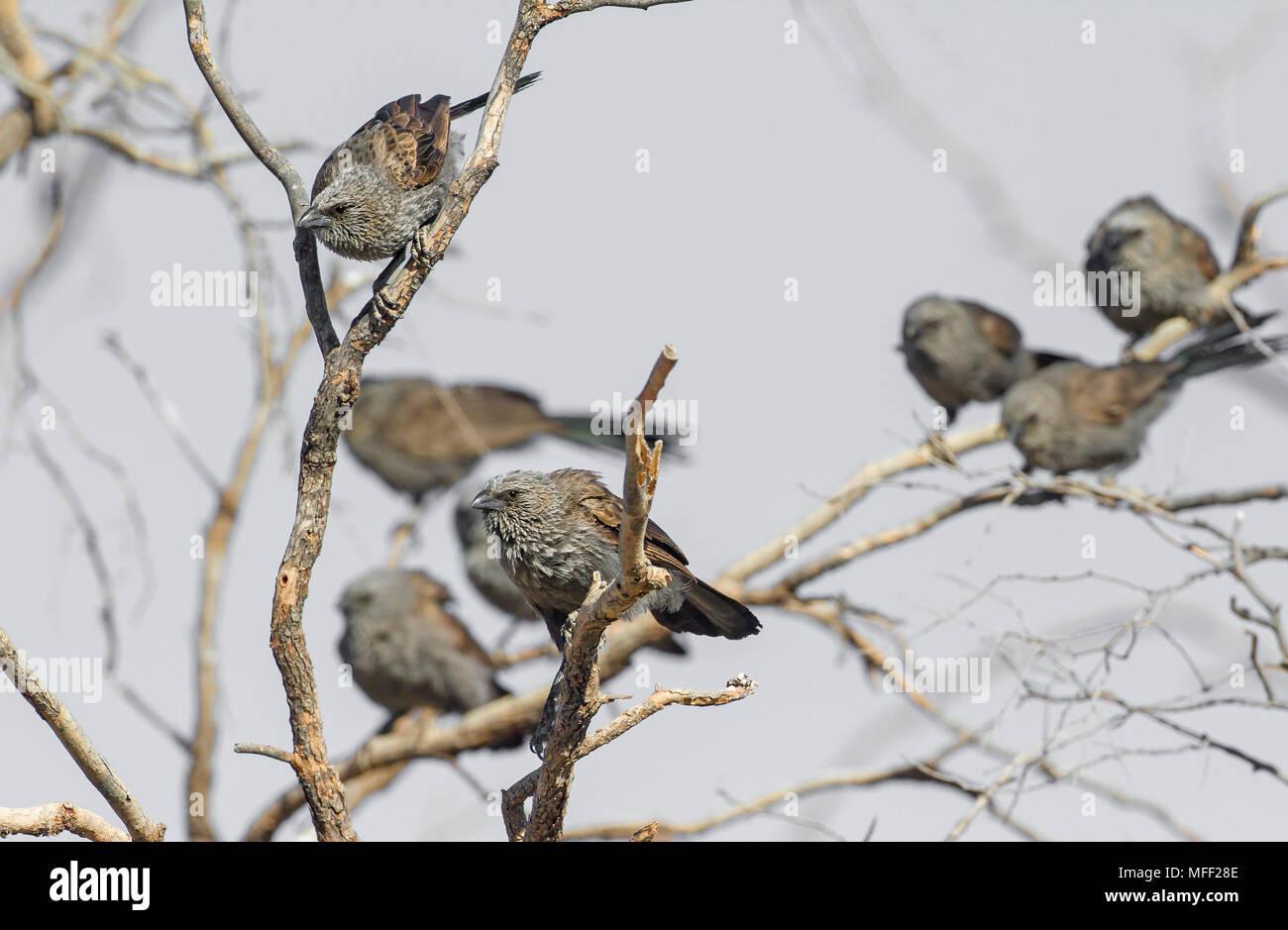 Apostlebird (Struthidea cinerea), Fam. Corcoracidae, Highly social passerines, Carnarvon National Park, Queenland, Australia - Stock Image