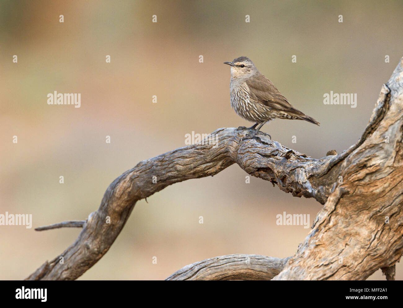 Brown Treecreeper (Climacteris picumnus, Fam. Climacteridae, Mulyangarie Station, South Australia, Australia - Stock Image