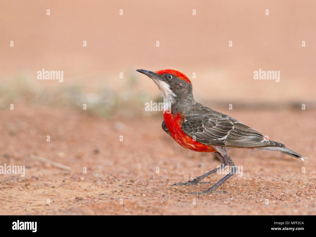 Crimson Chat (Epthianura tricolor), Fam. Meliphagidae, Male, Mulyangarie Station, South Australia, Australia - Stock Image