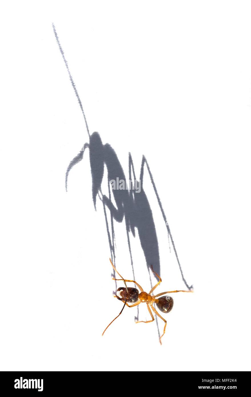 Sugar Ant (Camponotus spp.), Fam. Hymenoptera, shadow on white paper at sunrise, Mulyangarie Station, South Australia, Australia - Stock Image