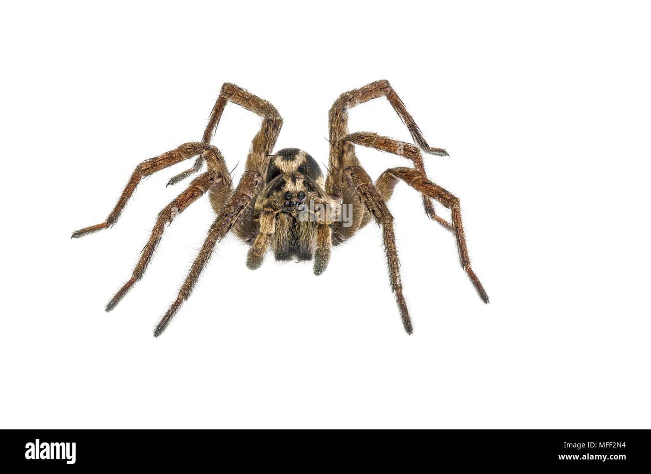 Wolfspider (Venatrix spp.?), Fam. Lycosidae, Image focus-stacked, Armidale, New South Wales, Australia - Stock Image