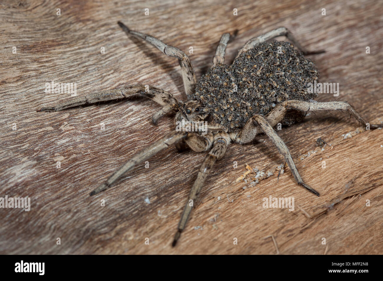 Wolfspider (Venatrix spp.?), Fam. Lycosidae, Female carying spiderlings, Warrumbungle National Park, New South Wales, Australia - Stock Image