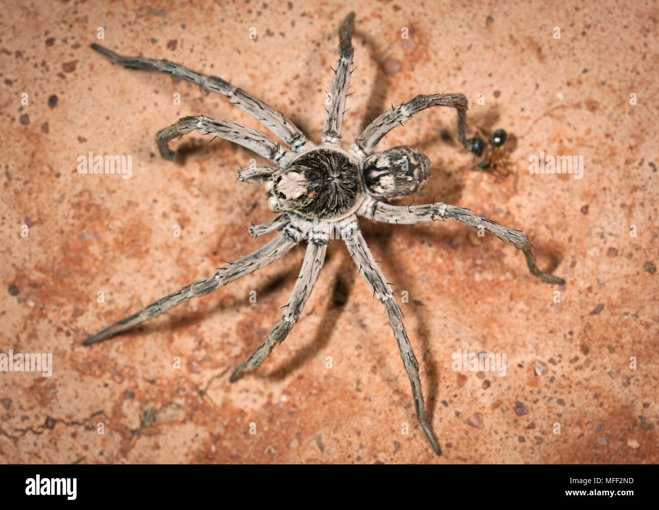 Desert Wolfspider, Fam. Lycosidae, Male, These large spider was active during the night, Mulyangarie Station, South Australia, Australia - Stock Image