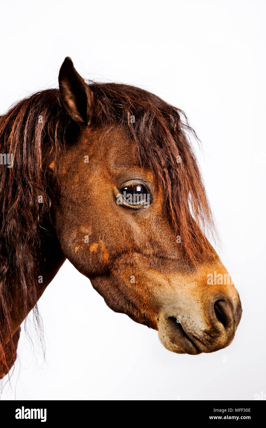 Miniature horse. Very small horses kept as family pets. This breed still have natural horse behavior and is therefore treated like an equine. Studio s - Stock Image