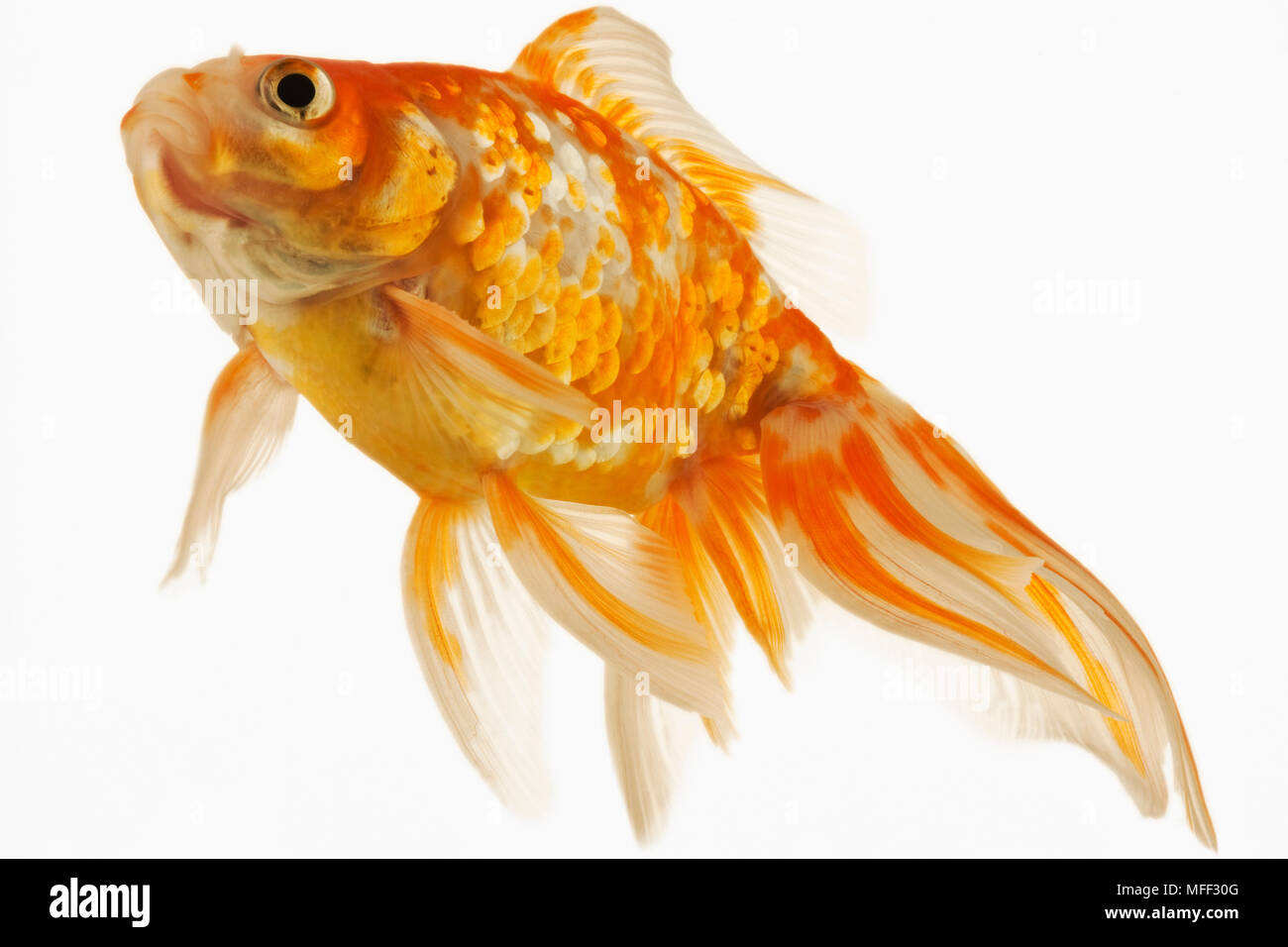 Goldfish (Carassius auratus). Fresh water fish. Variety of fancy goldfish. Close-up of face. Studio shot against white background. Asian origin. Distr Stock Photo