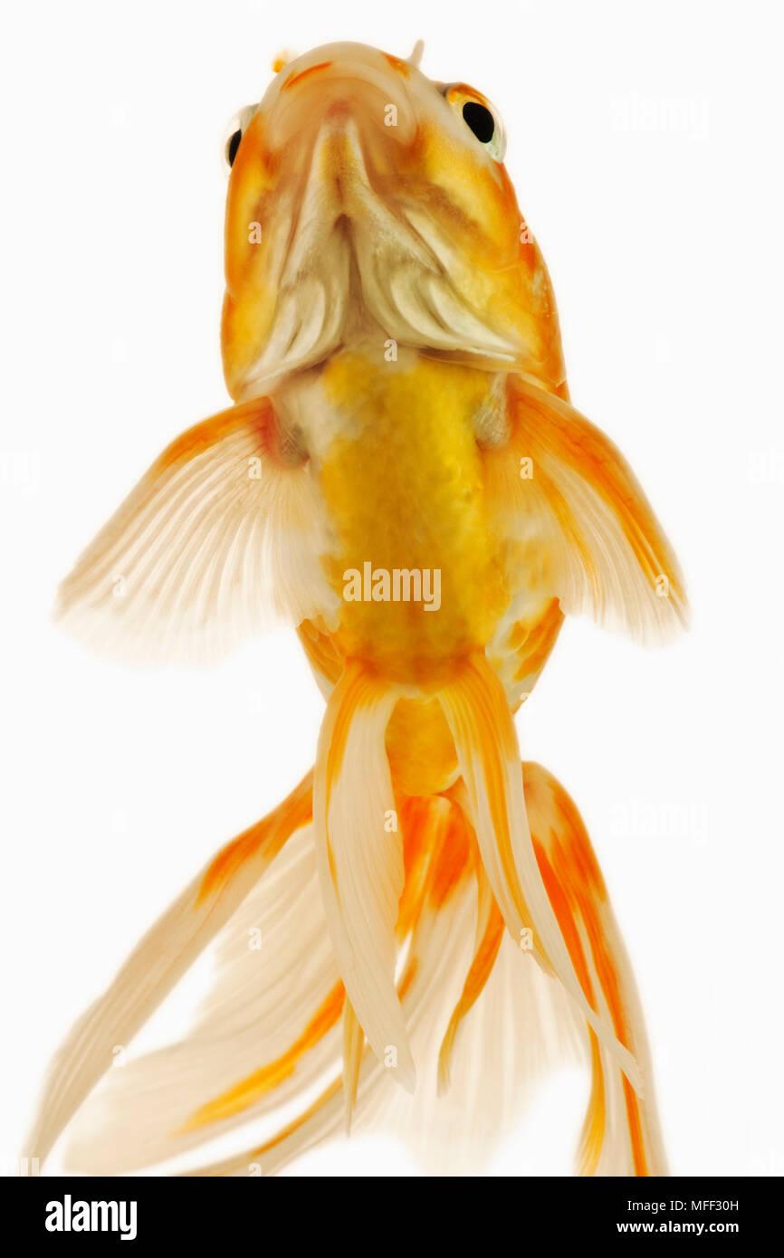 Goldfish (Carassius auratus). Fresh water fish. Variety of fancy goldfish. Close-up of face. Studio shot against white background. Asian origin. Distr Stock Photo