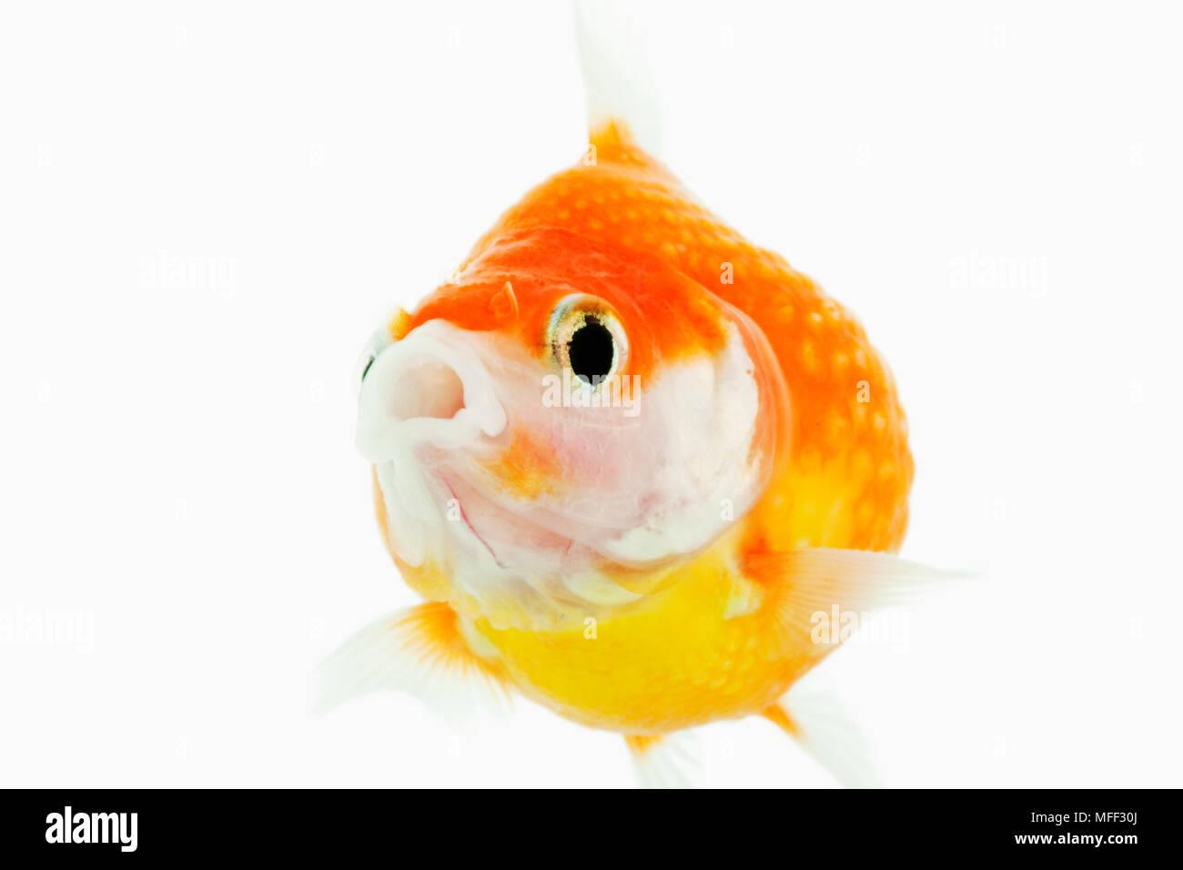 Pearlscale goldfish (Carassius auratus). Fresh water fish. Variety of fancy goldfish. Close-up of face. Studio shot against white background.Asian ori Stock Photo